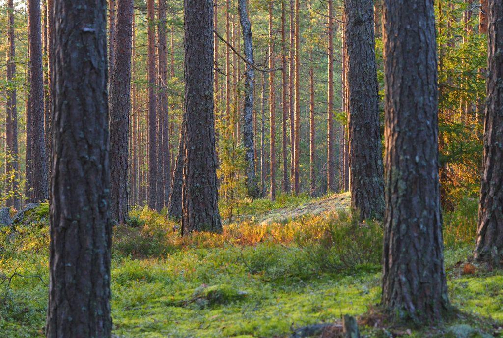 Polkumetsää ilta-auringossa Kuva: Terhi Jaakkola